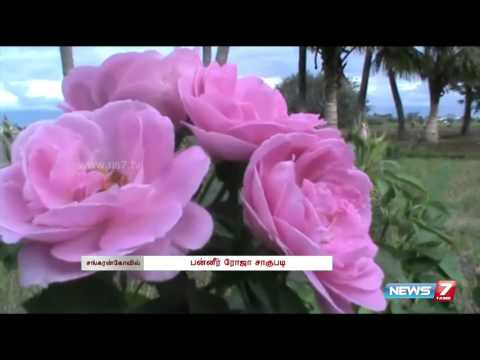 Paneer Rose cultivation kicks off at Sankarankovil | Tamil Nadu | News7 Tamil
