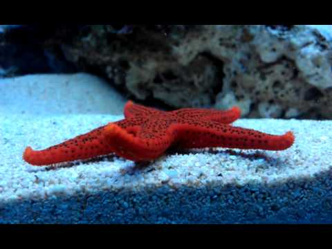 Red Starfish Moving, Tentacles, Close Up, Marine