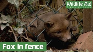 Fox Cub Being Strangled By Chain-link Fence