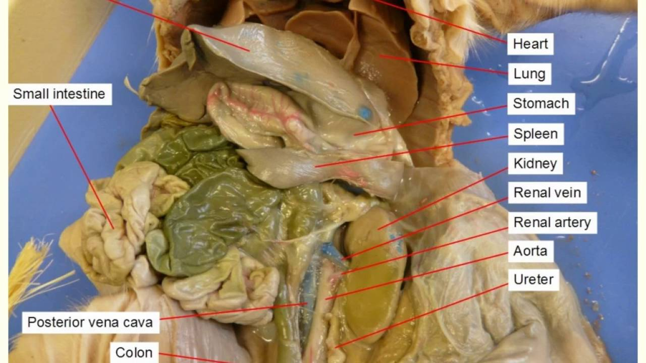 Fetal Pig Anatomy Youtube