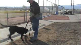 Detection Dog: Selection Testing/Enviromental Exposure