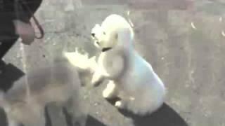 Sms Little Dog Dog Training Bijou