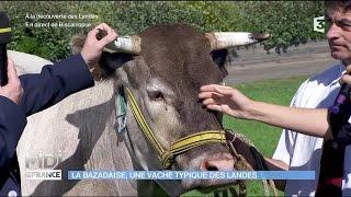 La Bazadaise, une vache typique des Landes