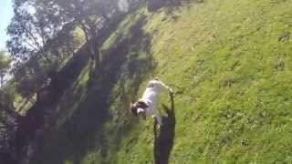 Rabbit Hunting With English Springer Spaniels