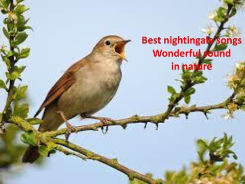 Best nightingale songs- Wonderful sound in nature-1hr 20 relaxation- Youtube