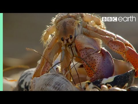 Amazing Crabs Shell Exchange | Life Story | BBC Earth