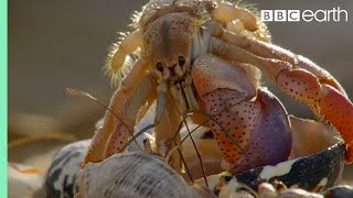 Crabs Trade Shells in the Strangest Way | BBC Earth