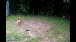Staffy-bull-terrier.niceboard.com