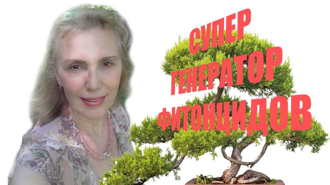 Можжевельник  Juníperus черенкование посадка, уход. От подагры, инфекции, нечистой силы. Рецепты