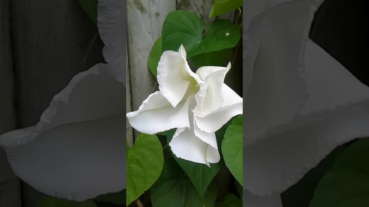 Giant white moon flower opens in real time youtube giant white moon flower opens in real time mightylinksfo