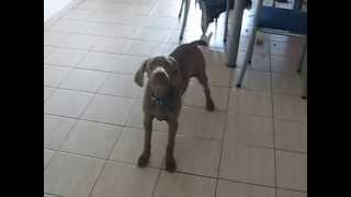 4 Months Weimaraner Puppy Howling :)
