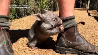 Австралиец заменил маму вомбату по имени Джордж