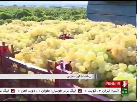 Iran Fars province, Picking Golden Grapes چيدن انگورهاي طلايي استان فارس ايران