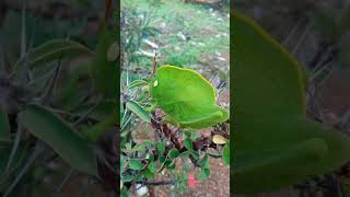 Acridoidea