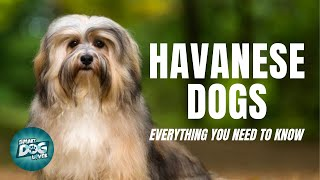 Havanese Dogs Breed Guide | Dogs 101  Havanese Dog