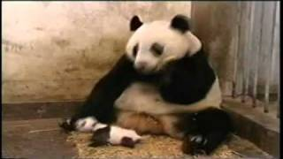 МЕГА СМЕШНОЕ ВИДЕО - Чихающий Панда