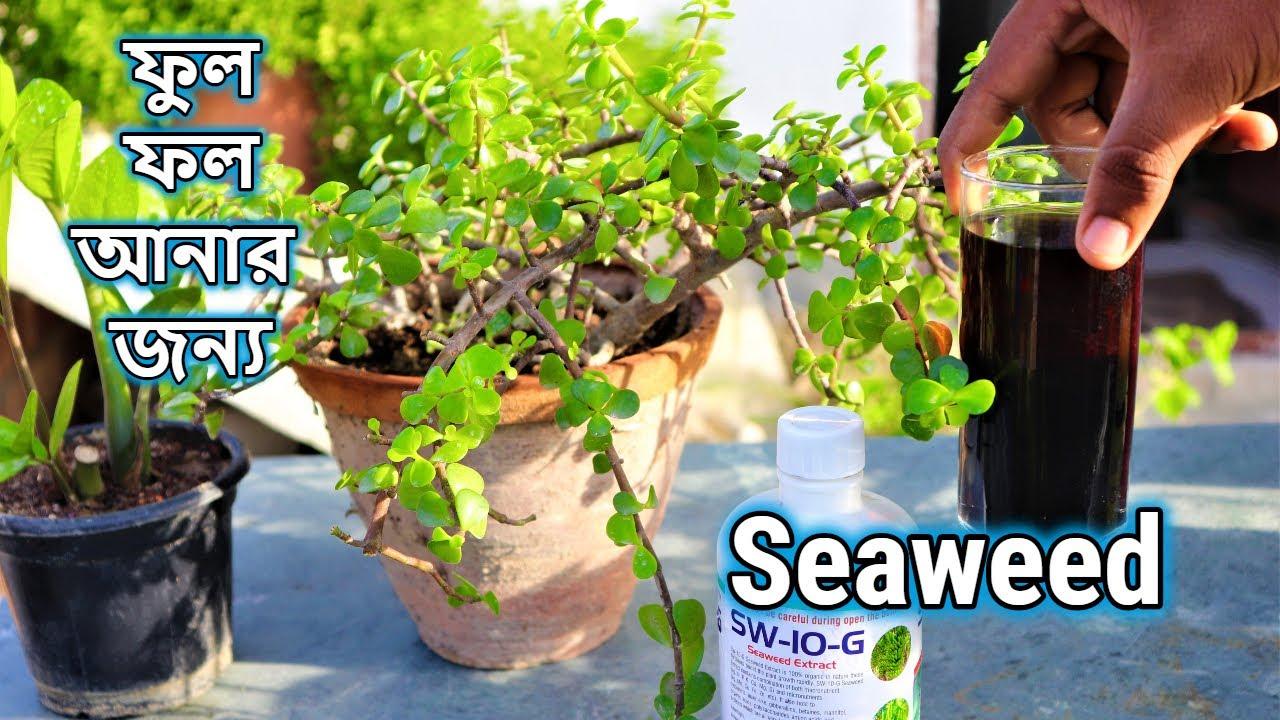 গাছে ফুল ,ফল আনার জন্য সব থেকে ভালো তরল সার    Seaweed Extract    Best Fertilizer for your Plants