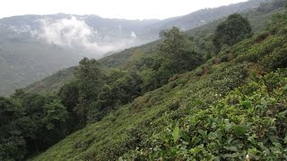 Margaret's Hope Tea Garden, Darjeeling.