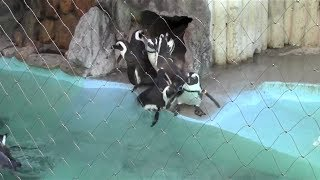 Cute Animal Video:A penguin is pushed from behind