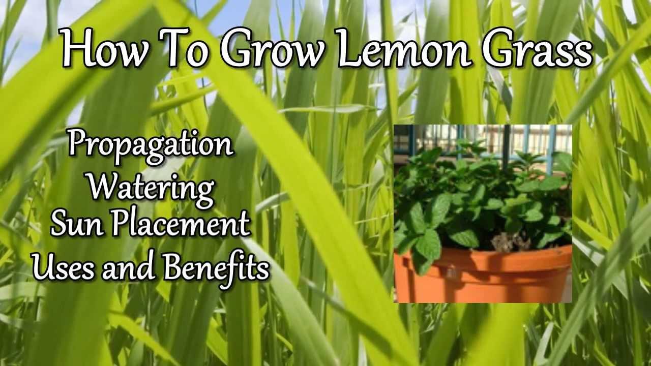 How to grow lemon grass - How To Grow Lemon Grass 0