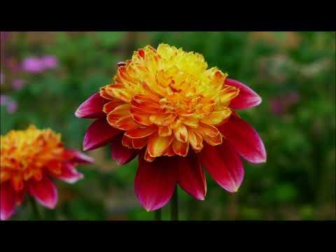 BEAUTIFUL FLOWERS AND BEAUTIFUL PIANO MUSIC - IMPROVISATION BY EDDY SUN PIANO PROBE