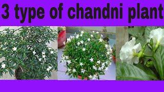 How to grow chandani plant || जाने 3 तरह की चांदनी के बारे में