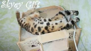 продажа бенгальская кошка,
