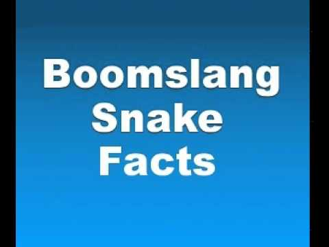 Boomslang Snake Facts - Facts About Boomslang Snakes
