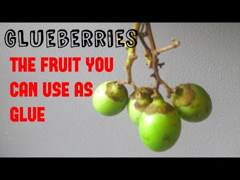 Gunda: The fruit you can use as glue - Weird Fruit Explorer Ep 272