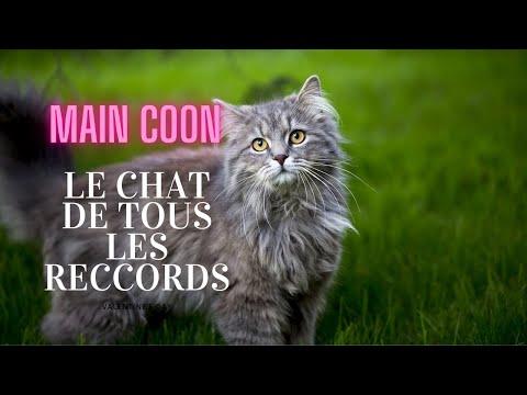 MAINE COON - Le CHAT de tous les records !