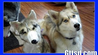 Clone Your Dog Siberian Husky Cuddle Clone