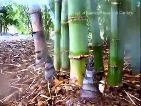 Dendrocalamus Giganteus Time Lapse Youtube