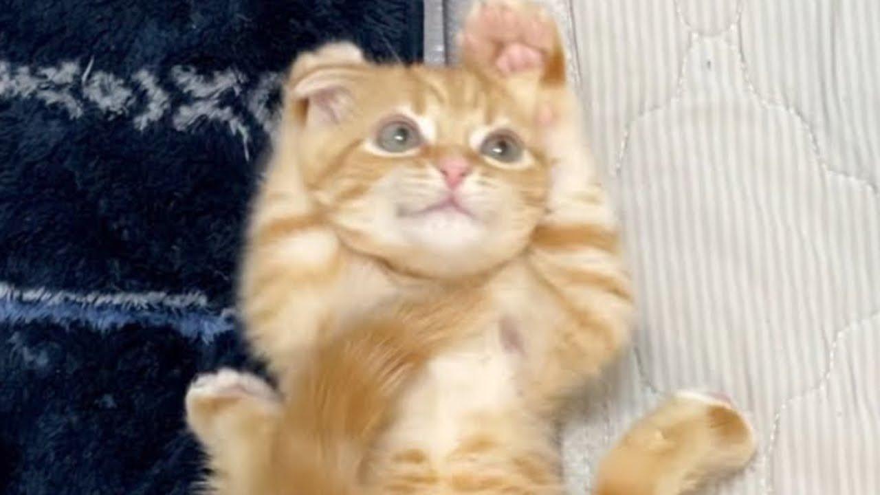 猫じゃらしで遊ぶ姿が可愛すぎる子猫のたろ/ So Cute Cat and Funny Cat ♥ Baby Cats