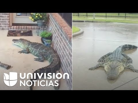 Reptiles en inundaciones de Texas, otra grave amenaza para damnificados del huracán Harvey