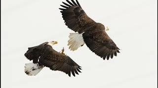 Bald Eagles of Conowingo Dam Maryland USA November 2019