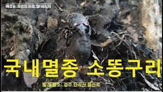 [곤충의 세계] 국내에서 멸종된 소똥구리를 만나다 (경주 단석산  등산길에서 ) ,Extinct cow dung Beetle