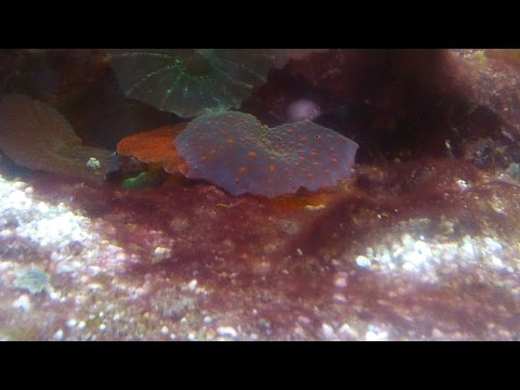 How To Remove Cyano (red Slime Algae) From A Reef Tank.
