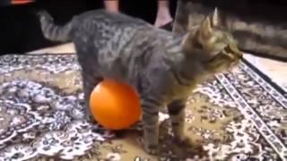 Приколы про котов.Кот и воздушный шарик