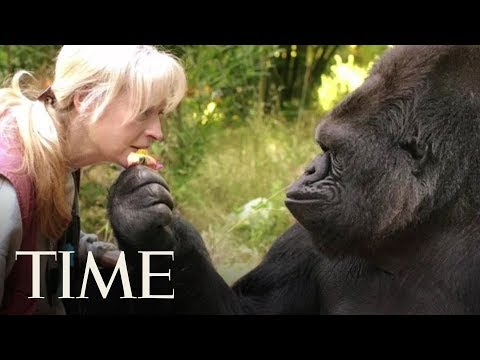 Koko, The Cat-Loving Gorilla Who Learned Sign Language, Dies At 46 | TIME