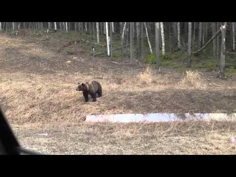 Смотреть Жесть!!! Медведь!!! Смотреть до конца!!! онлайн
