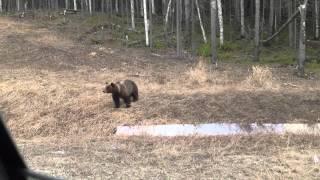 Жесть!!! Медведь!!! Смотреть до конца!!!