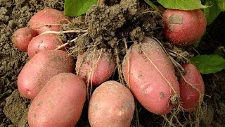 Посадка картоплі під мульчу. +Эксдачник