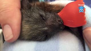 Baby flying-fox care daily life clips:  this is Quaffle