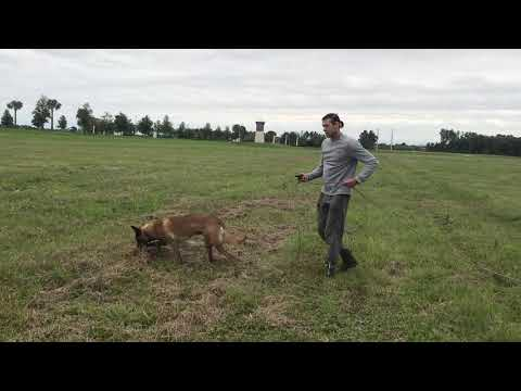 Tracking, nose work, Malinois