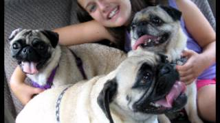 A Tribute To Minnie : A Pug Rescue Of New England Foster Pug Who Came To Stay