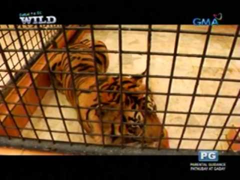 Born to be Wild: Sumatran tigers, the endangered predators