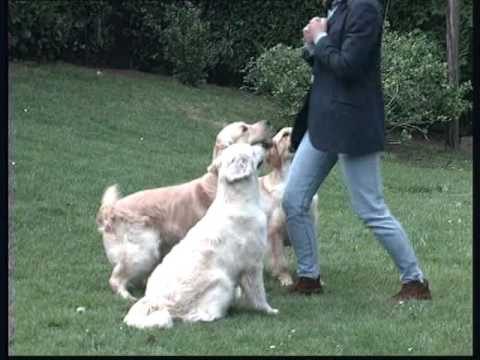 The Golden Retriever - Pet Dog Documentary English