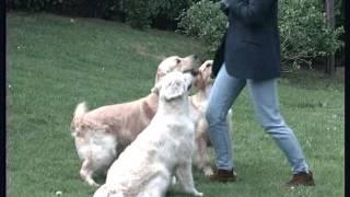The Golden Retriever  Pet Dog Documentary English