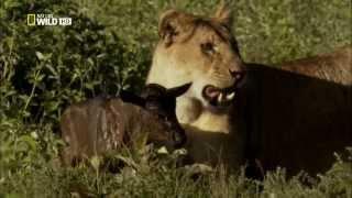 Необычное поведение животных.Спасённая Львицей.