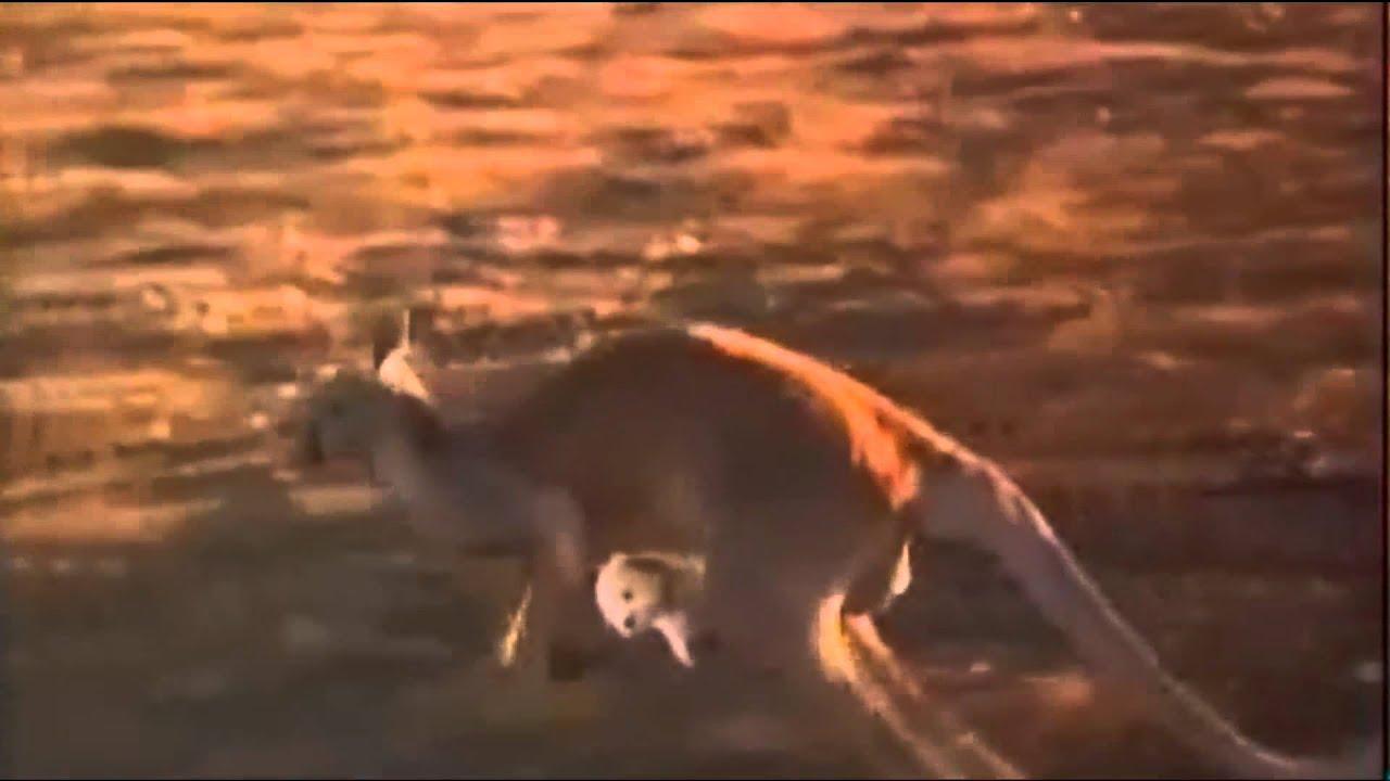 Dingo Die wilden Hunde aus Down Under  inaustraliencom